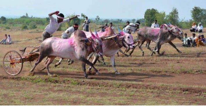 bullock race_1