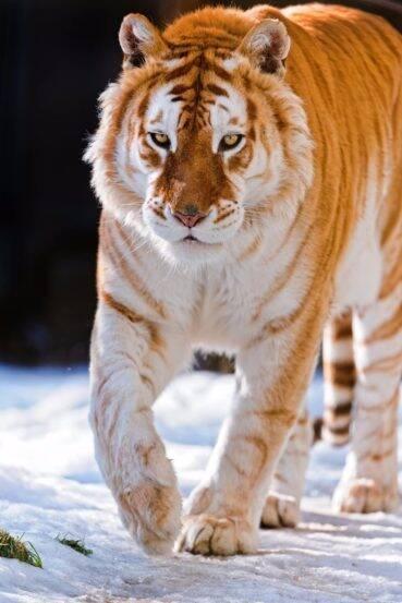 Golden-Tiger_1